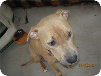 American Pit Bull Terrier Dog for adoption in High View, West Virginia - Binnie
