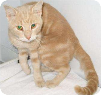 Domestic Shorthair Cat for adoption in Mt. Vernon, Illinois - Barry
