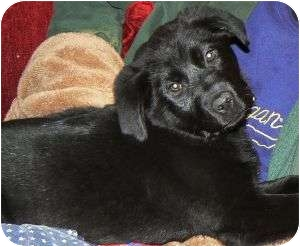 Labrador Retriever Mix Puppy for adoption in Chester, Maryland - PeeGee