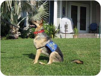 German Shepherd Dog Dog for adoption in Green Cove Springs, Florida - Kiera