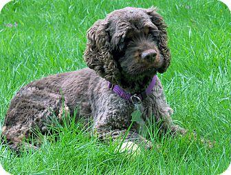 Cocker Spaniel Dog for adoption in Lynnwood, Washington - Brandee