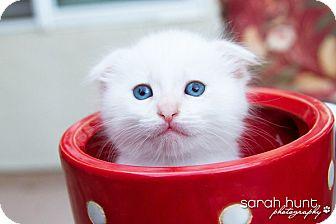 Scottish Fold Kitten for adoption in Irvine, California - Carlton