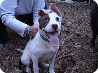Pit Bull Terrier/Labrador Retriever Mix Puppy for adoption in Tucker, Georgia - Jelly Bean