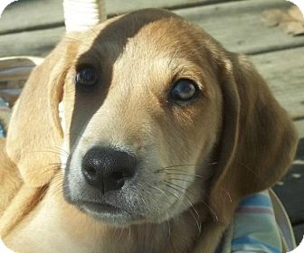 Black and Tan Coonhound/Hound (Unknown Type) Mix Puppy for adoption in Somers, Connecticut - Wiggles