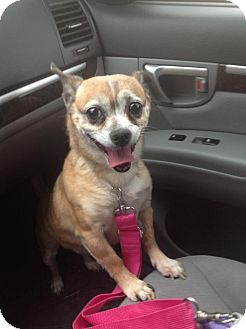Pug/Chihuahua Mix Dog for adoption in Los Angeles, California - Chunky Monkey
