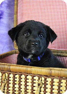 Australian Cattle Dog/Shepherd (Unknown Type) Mix Puppy for adoption in Westminster, Colorado - Hestia