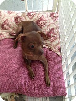 Chihuahua Mix Dog for adoption in Walker, Louisiana - Ruby
