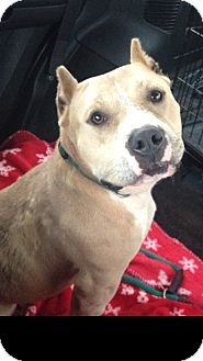 Pit Bull Terrier Mix Dog for adoption in Pittsburgh, Pennsylvania - LEXIS