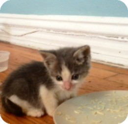 Domestic Shorthair Kitten for adoption in Brooklyn, New York - Betty B