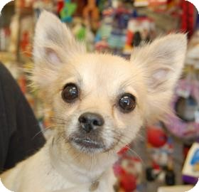 Pomeranian Mix Dog for adoption in Brooklyn, New York - Maggie
