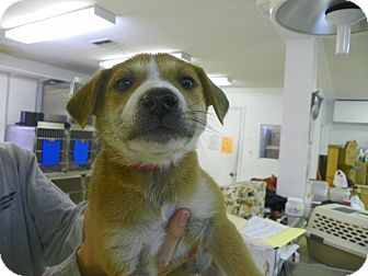 Shepherd (Unknown Type) Mix Puppy for adoption in Waldorf, Maryland - Sarabi