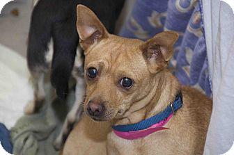 Chihuahua Mix Dog for adoption in staten Island, New York - Mona