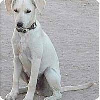 Adopt A Pet :: mini Labs - Lucerne Valley, CA