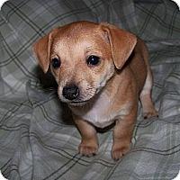 Adopt A Pet :: Gidget - La Habra Heights, CA