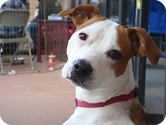 Jack Russell Terrier/Pit Bull Terrier Mix Puppy for adoption in Hamilton, New Jersey - Boston