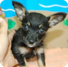 Chihuahua Mix Puppy for adoption in Bradenton, Florida - Cricket