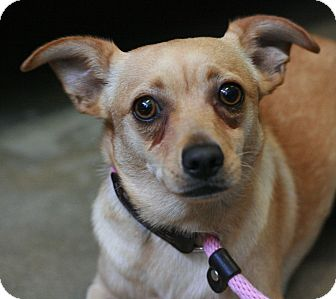 Dachshund/Terrier (Unknown Type, Small) Mix Dog for adoption in Canoga Park, California - Chester