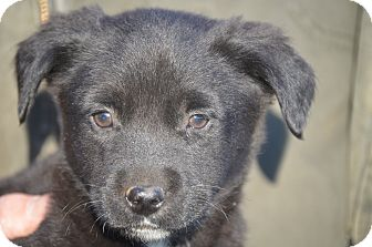 Labrador Retriever Mix Puppy for adoption in Spring City, Pennsylvania - Gus