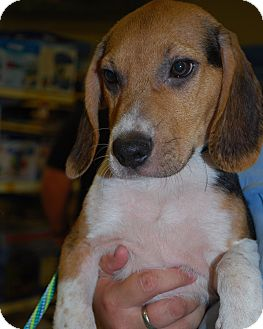 Beagle Mix Puppy for adoption in Richmond, Virginia - Snickers