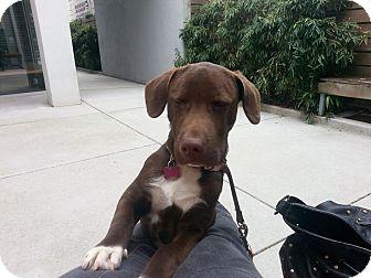 Labrador Retriever Mix Dog for adoption in Rexford, New York - Noodle