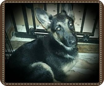 German Shepherd Dog Puppy for adoption in Richmond, California - Saphire