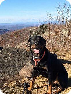 Rottweiler Dog for adoption in Rexford, New York - Elway