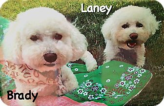 Bichon Frise Dog for adoption in East Hanover, New Jersey - Laney