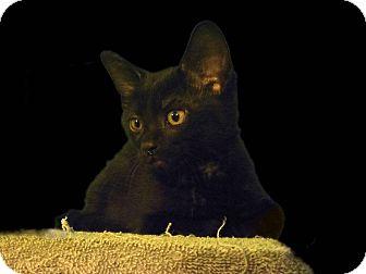 Domestic Shorthair Kitten for adoption in New Castle, Pennsylvania - Griddlebone