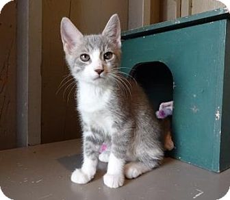 Domestic Shorthair Kitten for adoption in Lathrop, California - Quill