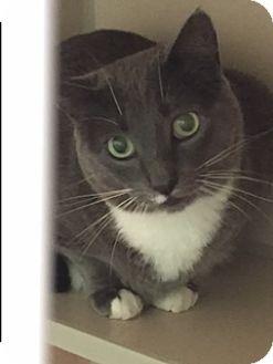 Domestic Shorthair Cat for adoption in Divide, Colorado - William