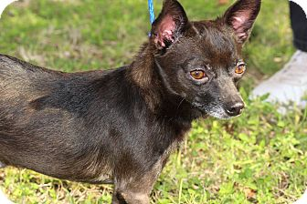 Chihuahua Mix Dog for adoption in Brownsville, Texas - Ricky
