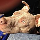 Adopt A Pet :: Missy - Denton, TX