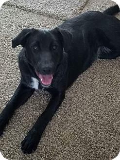 Labrador Retriever Mix Puppy for adoption in Ogden, Utah - Lexi