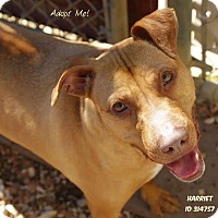 Adopt A Pet :: Harriet - Camden, DE