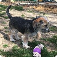 Adopt A Pet :: COOKIE--ADOPTED!! - Lynnwood, WA