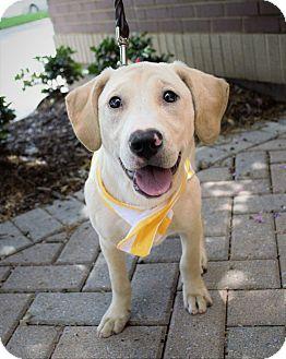 Hound (Unknown Type)/Pit Bull Terrier Mix Puppy for adoption in Charlotte, North Carolina - Neil Diamond - Sweet Caroline