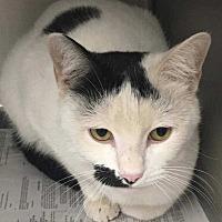 Domestic Shorthair Cat for adoption in Aurora, Colorado - Peak