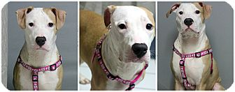 American Staffordshire Terrier Mix Puppy for adoption in Forked River, New Jersey - Adines