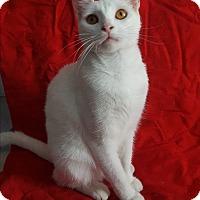 Domestic Shorthair Kitten for adoption in San Diego, California - ANNIE