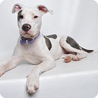 Adopt A Pet :: Izzy - Jefferson City, MO