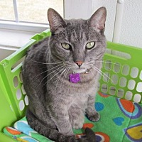 Domestic Shorthair Cat for adoption in Cumberland, Maine - Zoe