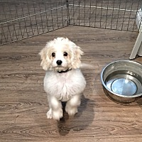 Adopt A Pet :: Havanese mix pup - Los Angeles, CA