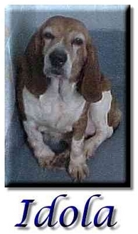 Basset Hound/Beagle Mix Dog for adoption in Marietta, Georgia - Idola