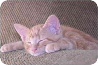 Domestic Shorthair Kitten for adoption in Washington Terrace, Utah - Hunny Bunny