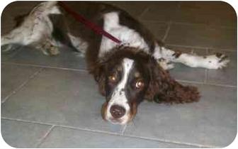 English Springer Spaniel Puppy for adoption in Oak Ridge, New Jersey - Emma-URGENT
