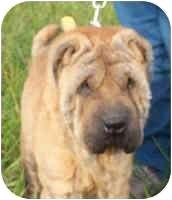 Shar Pei Dog for adoption in Genoa, Ohio - Rosie