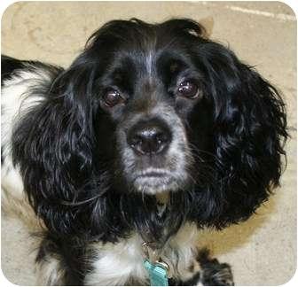 Cocker Spaniel/English Springer Spaniel Mix Dog for adoption in Berea, Ohio - Snoopy