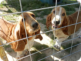 Basset Hound Dog for adoption in Lawrenceburg, Tennessee - Ralph & Dixie