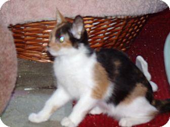 Calico Kitten for adoption in Scottsdale, Arizona - Astaroth & Niburu