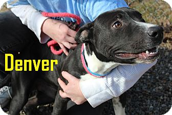 American Staffordshire Terrier Mix Dog for adoption in Franklin, North Carolina - DENVER